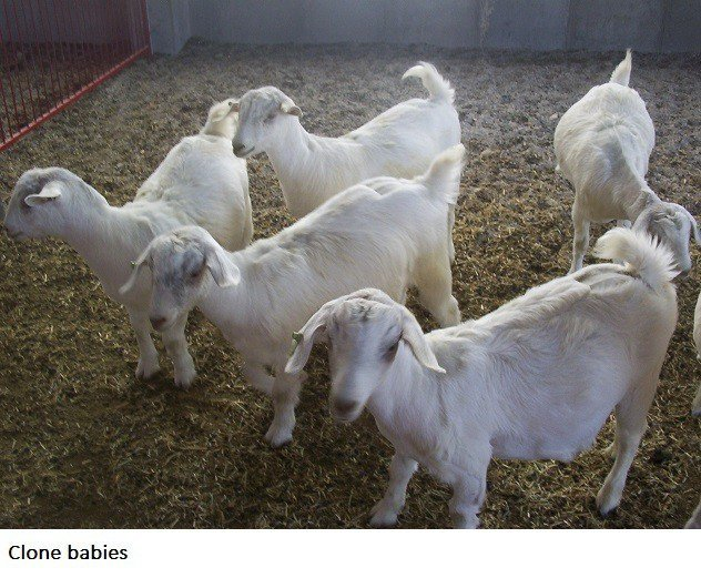Spider Goats In Cache Valley