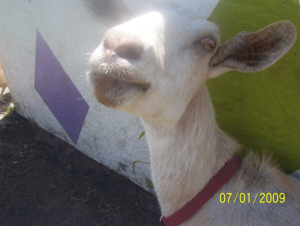 Marsha The Good Goat Is Coming Home Tomorrow!