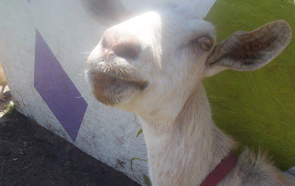 Warning – Photos of Goats