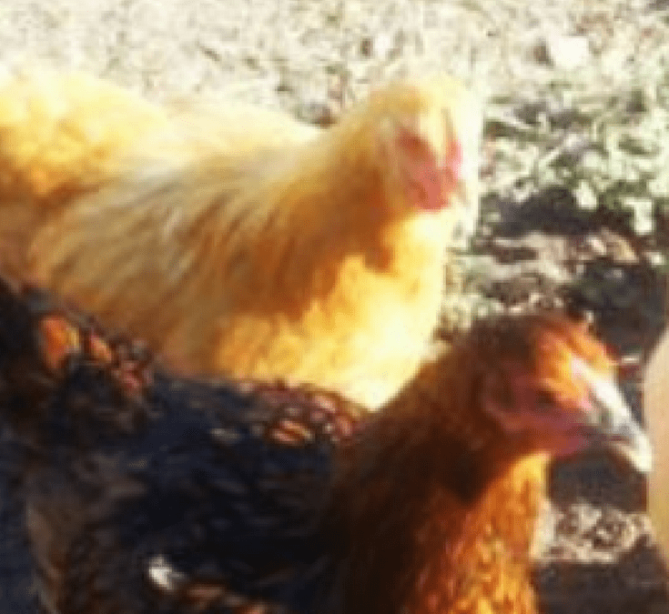 Beginners Guide To Raising Chickens – Everything You Need To Know