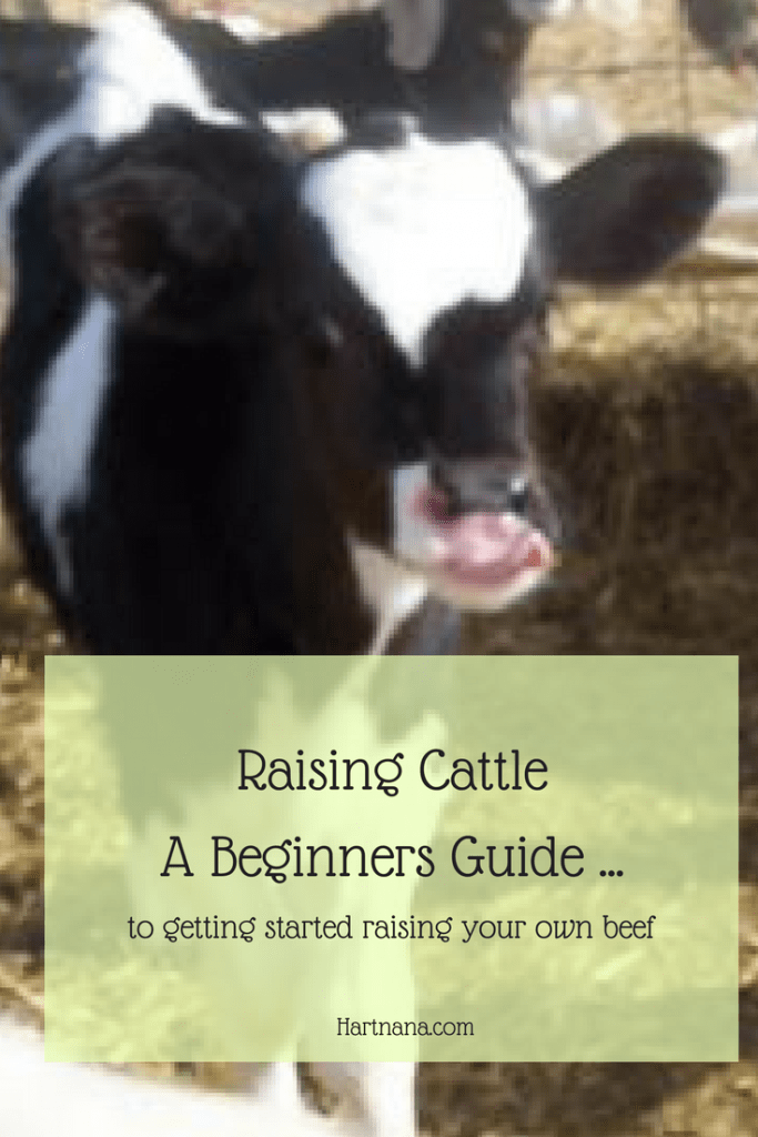 Raising cattle a beginners guide to raising your own beef. #cattle #homesteading #homesteadhacks @hart_nana