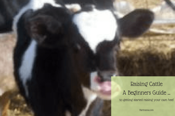 Cattle Raising Beginners Guide To Keeping Cows For Beef