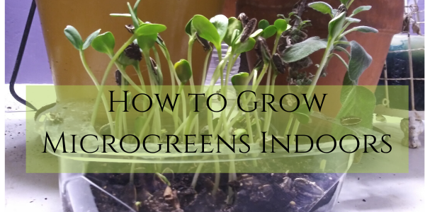 How to grow microgreens indoors #microgreens #indoorgardening